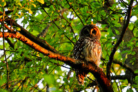 Barred Owl - Greenville, SC